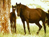 Ballerette with foal Night Song 1997