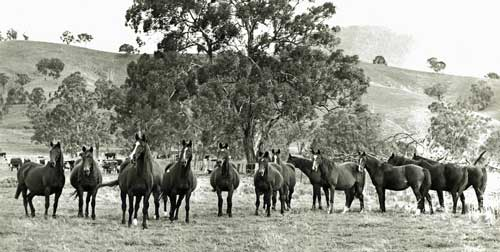 A group of the Studs broodmares in the 1980's