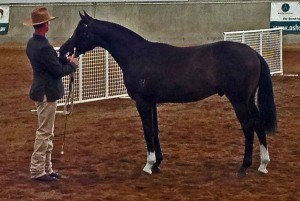 zorba-winner-yearling-colt-2012-nationals