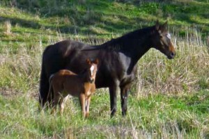 Haydon Tourmaline, (left) a full sister to Haydon Angel Jewel, has been a remarkable broodmare. Her first filly played in the Argentine Open and she has produced another another five good daughters to date. This is her 2011 filly Haydon Crystalline.