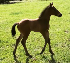 Absolut foal